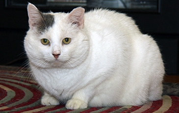Big White Cat